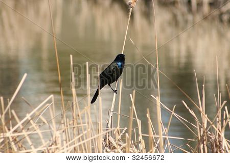 A Common Grackle perched on a blade of marsh grass poster