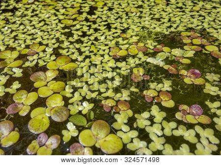 Low Angle Shot Of A Water Surface With Lots Of Swimming Aquatic Plants In Sunny Ambiance