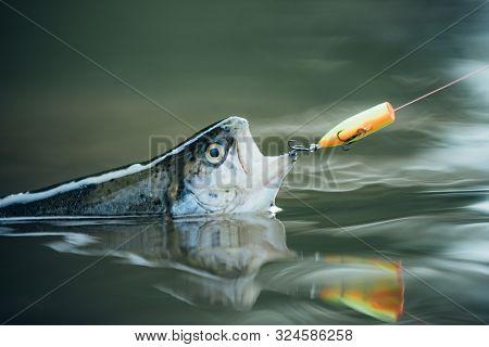 Bass Fishing Splash. Trout. Fishing. Still Water Trout Fishing. Catching A Big Fish With A Fishing P