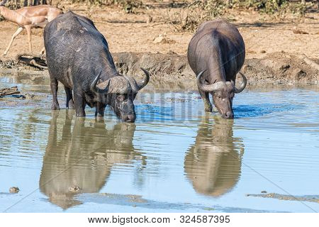 Two Cape Buffaloes, Syncerus Caffer, With Their Reflections Visible, Drinking In A Muddy Dam