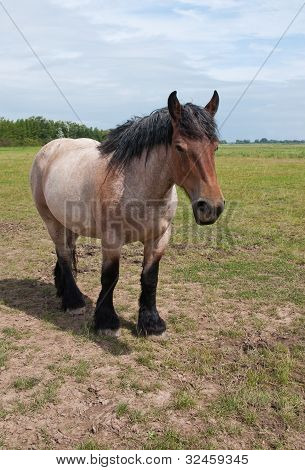 A powerful Belgian horse standing in the field poster