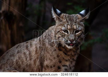 close up of a bobcat licking its lips