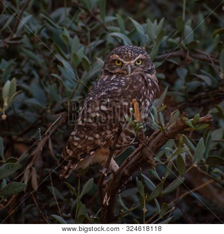 Small Brown Owl Sitting In A Bush
