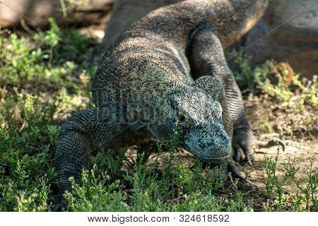 close up of a komodo dragon face