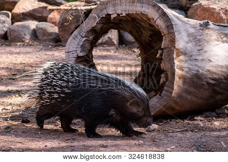 Porcupine Walking In Front Of A Hollow Log