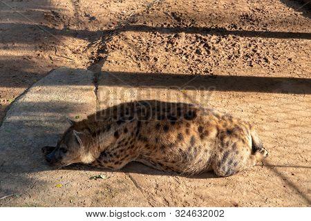 Pregnant hyena sleeping on sunny enclosure. Animal welfare in zoo. African predator or scavenger animal. Carnivore animal of Africa nature. Hyena dog breeding. Captive breeding of wild species in zoo poster