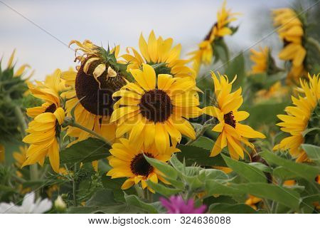 Sunflowers Along A Farmland To Attrack Bees To Come In The Netherlands