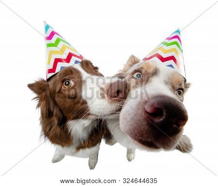 Two Funny Dog In A Festive Cap. Border Collie On A White Background In Studio