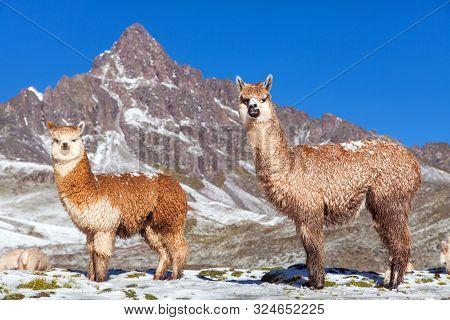 Llama Or Lama, Two Lamas On Pastureland,  Andes Mountains, Peru