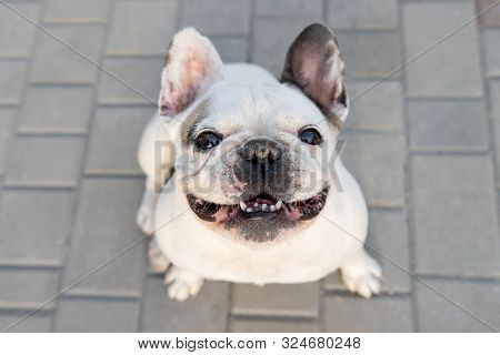 White Bulldog Sitting On Ground And Looking Up At Camera. Funny Smiling French Bulldog.