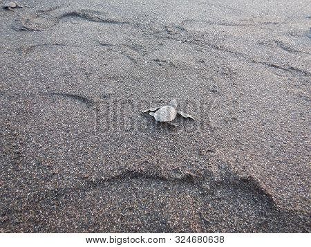 Black Turtle Hatchling Crawling Over Balck Volcanic Sand With Footprints..