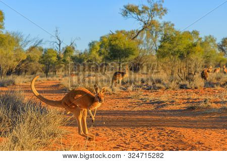 Red Kangaroo, Macropus Rufus, Jumping Over Red Sand Of Outback Central Australia In The Wilderness.