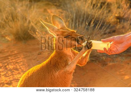 Closeup Of Baby Kangaroo Orphan Having Their Milk. Tourist Feeds Small Kangaroo Bottle Feeding Outdo