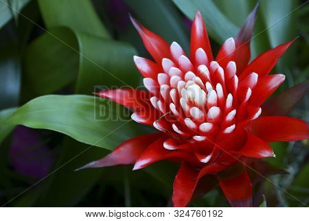 Bromelia Flowering Plant On A Blurred Green Leaves Background.red Guzmania Lingulata Flowers In Trop