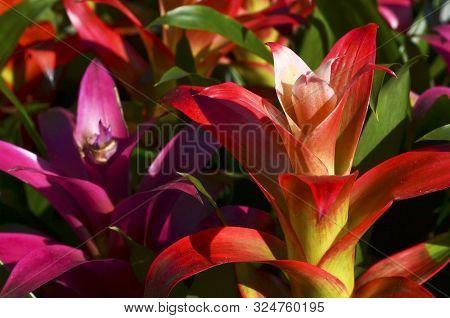 Guzmania Lingulata Flowers Close Up.bromelias In A Greenhouse Or Flowerbed.scarlet Star Tropical Pla