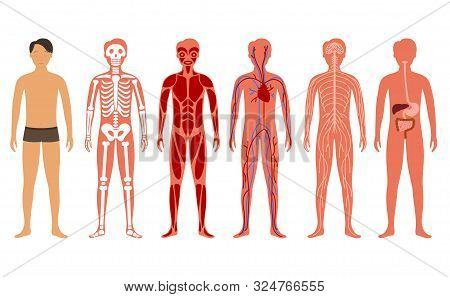 Cartoon Color Human Body Anatomy System Set Include Of Skeleton, Digestive, Circulatory And Nervous.