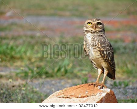 Owl perched staring.