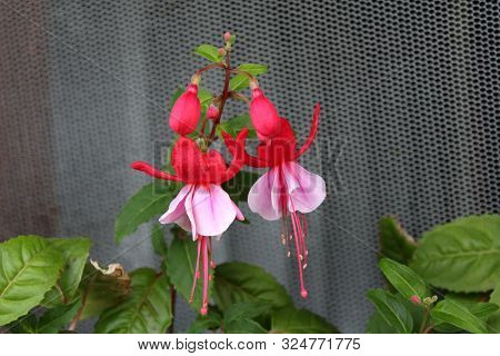 Fuchsia Decorative Flowering Plant Single Branch With Two Fully Open Blooming Pendulous Teardrop Sha