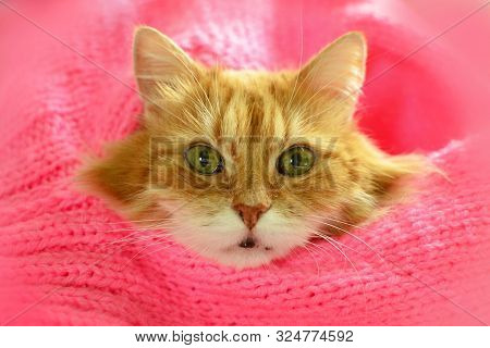 Pretty Red Cat In Cozy Warm Pink Scarf.