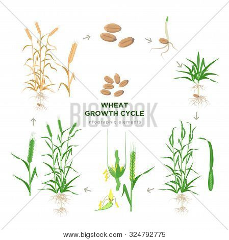 Wheat Growing Stages, Life Cycle Of Wheat Plant Infographic Elements In Flat Design, Botanical Set O