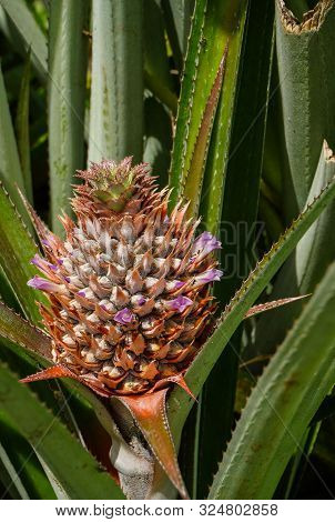 A Young Pineapple With Purple Flowers And Ants Crawling On It Grows Among Green Leaves In A Field On