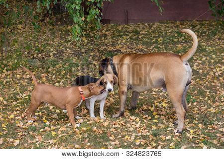 Beagle Puppy, American Staffordshire Terrier Puppy And Bullmastiff Puppy Are Playing In The Autumn P