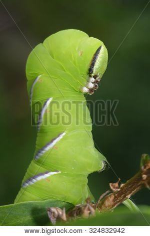 Privet Hawkmoth Caterpillar - Sphinx Ligustri  Closeup In Defensive Pose