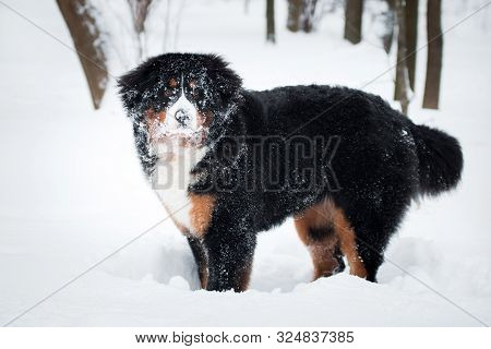 Bernese Mountain Dog Breed Dog Played In The Snow And Covered With Snow