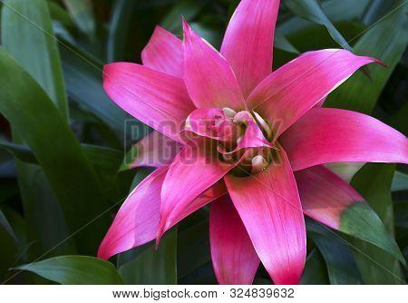 Guzmania Lingulata Pink Flower Close Up.bromelia In The Garden.scarlet Star Tropical Plant.selective