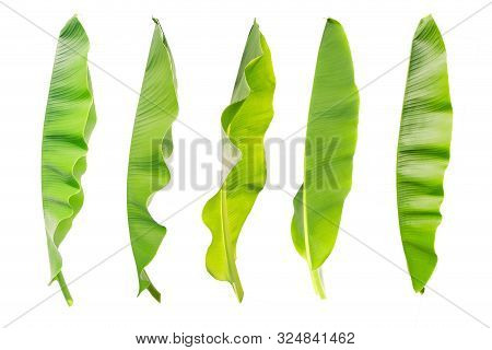 Tropical Banana Leaf Texture In Garden, The Collection Of Banana Leaf. Abstract Green Leaf, Large Pa