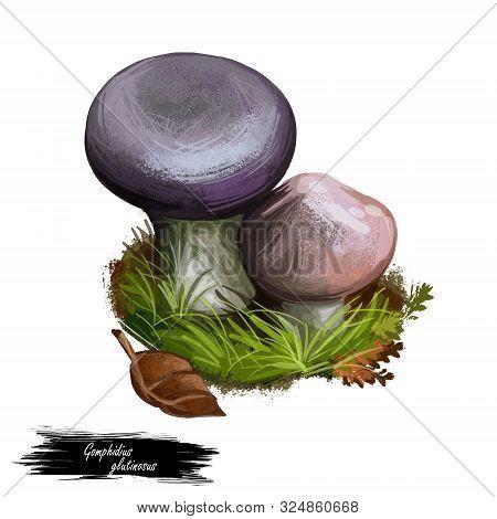 Gomphidius Glutinosus Slimy Spike-cap Gilled Mushroom Found In Europe And North America. Edible Fung