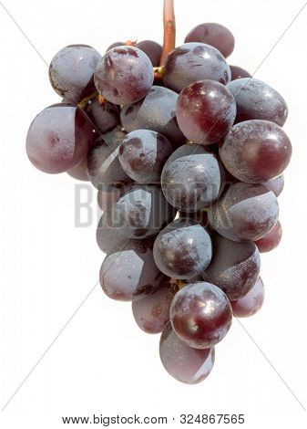 A freshly picked bunch of black Cretan grapes against a white background.