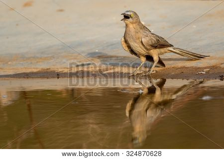 Jungle Babbler Or Turdoides Striata Or Large Grey Babbler Also Called As Seven Sisters Bird With Ref