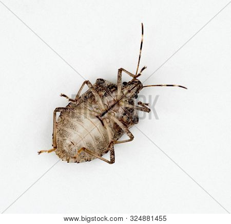 Underside of Brown Marmorated Stink Bug