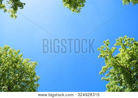 Tops Of Chestnut Trees Against A Blue Sky.