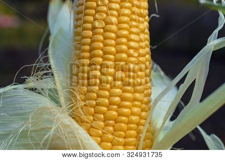 Yellow Corn Uncovered With Green Leaf On Cob Under Sunlight At Garden Closeup