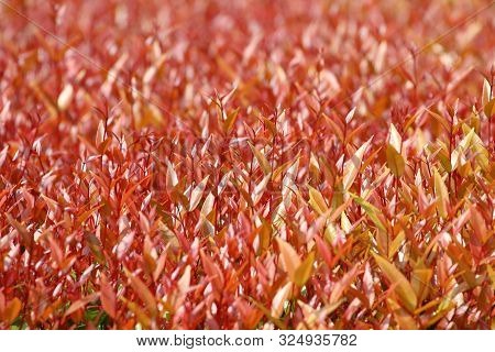 Red Leaves Treetop Of (syzygium Sp.) Background