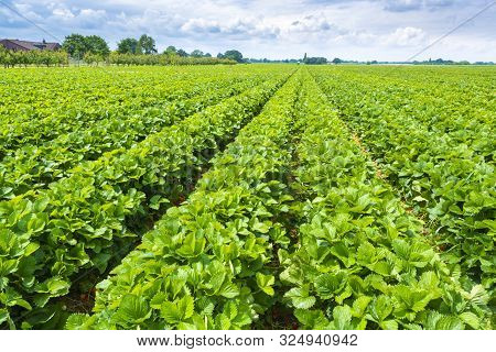 Strawberry Fields In Germany, Outdoor Plantations With Ripe Sweet Red Strawberries Ready For Harvest