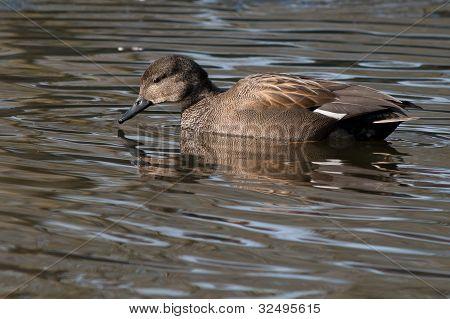 Gadwall (Anas strepera) swimming