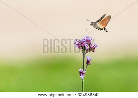 Tiny Hummingbird hawk-moth buzzing around purple flowers sampling nectar with its proboscis. Sunny summer day in a garden. Blurry beige and green background. poster
