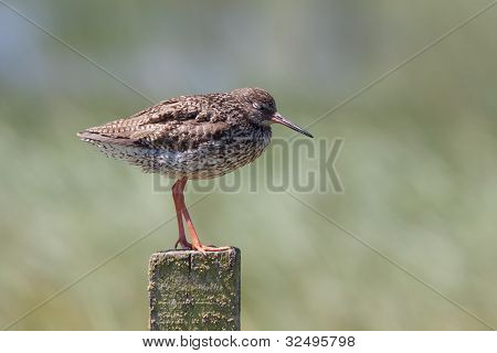 Redshank resting on a post with eyes closed poster