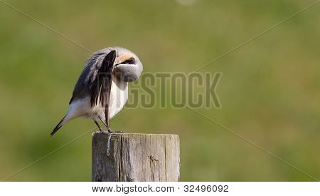 A Wheatear is cleaning on a post poster