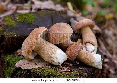 Several Boletus Mushroom In The Wild. Porcini Mushroom (boletus Aereus) On Old Fungy Hemp In Forest