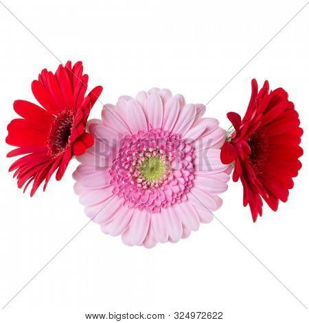 Three   pink and red and red gerbera flower heads isolated on white background closeup. Gerbera in air, without shadow. Top view, flat lay..