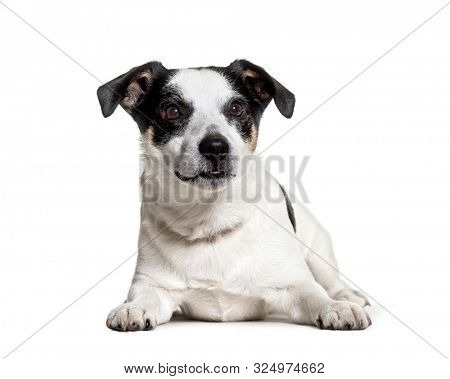 Jack Russell Terrier lying against white background