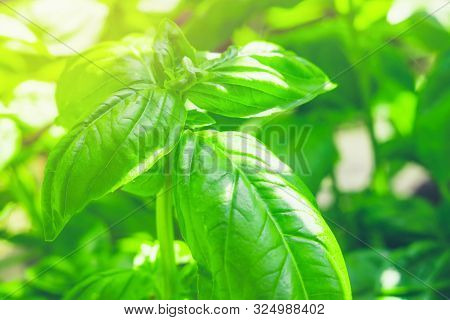 Close-up Of Fresh Basil Leaves. Green Flavoring Outdoor. Fresh Basil Growing In Garden. Nature Healt