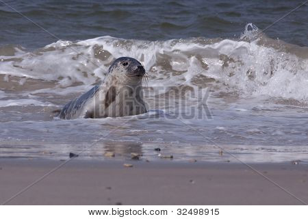 A Young grey seal in the surf poster