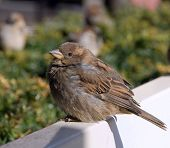 sparrow sits on a white bench resting after dense dinner poster
