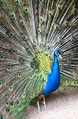 Beautiful blue peacock with colorful opened feathers. poster