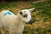 A perky lamb enjoys life on the farm in spring time. poster